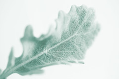 Dusty Miller (Serena178) Tags: autumn wedding light macro green dusty floral lines closeup leaf aqua soft pastel sharp bouquet delicate dustymiller macromonday
