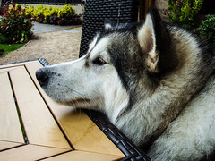 Jasper at the pub (pauldyus) Tags: malamute