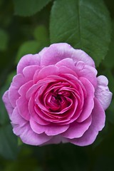Parleur et couffin (Gerard Hermand) Tags: pink paris france flower macro green fleur rose closeup canon leaf vert feuille serre auteuil formatportrait eos5dmarkii gerardhermand 1606102187