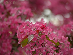 choking pink (Ryuu) Tags: pink flowers flower macro green floral leaves closeup composition petals spring focus branch dof bokeh blossoms stamens cherryblossom sakura pinkish plumblossom appleblossom bloomingtree crabappleblossom orientalappleblossom orientalapple