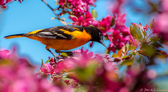 Baltimore Oriole (soupie1441) Tags: life pink blue light wild orange ontario canada color colour london nature cherry spring nikon colorful bright blossom wildlife ngc baltimore colourful 70300mm oriole d7200