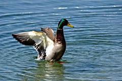 Vigoureux schage (Diegojack) Tags: nikon parc oiseaux canards morges vertou colverts nikonpassion d7200
