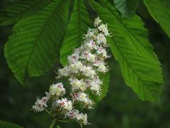 Kastanienbaumblte (germancute) Tags: wood green nature leaves forest blossom outdoor meadow wiese bloom grn blume wildflower wald bltter