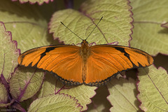 Butterfly 2016-63 (michaelramsdell1967) Tags: light orange plant color detail love nature beautiful beauty animal animals closeup contrast butterfly bug garden insect hope spring nikon natural vibrant butterflies vivid insects bugs zen upclose coleus