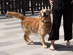 Eddie dancing to Euphoria (Yvonne L Sweden) Tags: summer dog dogs goldenretriever sweden hund eddie eskilstuna hundar 160622 fristadstorget hundshow sommartorget