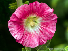 Hollyhock blossom... (HLHullPhotography) Tags: flowers flower macro blossoms upclose hollyhockblossom