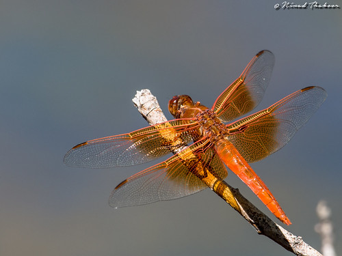 "Flame Skimmer • <a style=""font-size:0.8em;"" href=""http://www.flickr.com/photos/59465790@N04/27362835260/"" target=""_blank"">View on Flickr</a>"