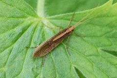 Caddisfly. (dave p brecks) Tags: macro sigma insects 105 caddisfly cano70d