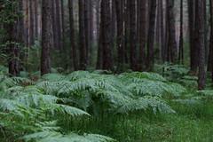 Farn im Regen (c.moritz62) Tags: fern farn