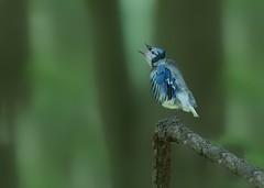 """Mommy!!!"" (Kitty Kono) Tags: mommy bluebird calling babybird fledgling valleyforge babyanimal babybluebird kittyrileykono wildlifeofvalleyforge"