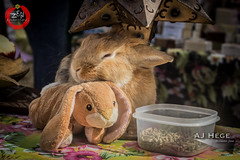 Zen Awakening Festival 2015 (AJ Hge Photography) Tags: november cute rabbit bunny love animal festival canon fun prime hawaii orlando furry community artist florida event talent 2015 primelens 60d furtographer ajhegephotography ajhgephotography zenawakeningfestival zaf2015 zenfields