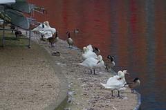 1270-19L (Lozarithm) Tags: reflections geese swans rivers stratforduponavon k50 warks 55300 pentaxzoom riveravonwarks hdpda55300mmf458edwr