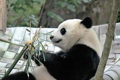 National Zoo ~ Panda snack time - HCS! (karma (Karen)) Tags: washingtondc nationalzoo pandas bamboo snacking hammocks texture cliche hcs