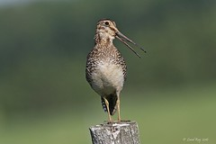 1.03783 Wilson's Snipe / Gallinago delicata / Bcassine de Wilson (Laval Roy) Tags: birds canon aves qubec oiseaux charadriiformes wilsonssnipe gallinagodelicata bcassinedewilson scolopacids eos7d lavalroy