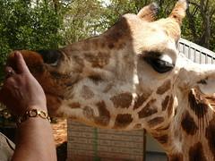 Eating Out of my Hand ! (Mara 1) Tags: africa trees eye kenya sunny shade daphne orphange sheldrick