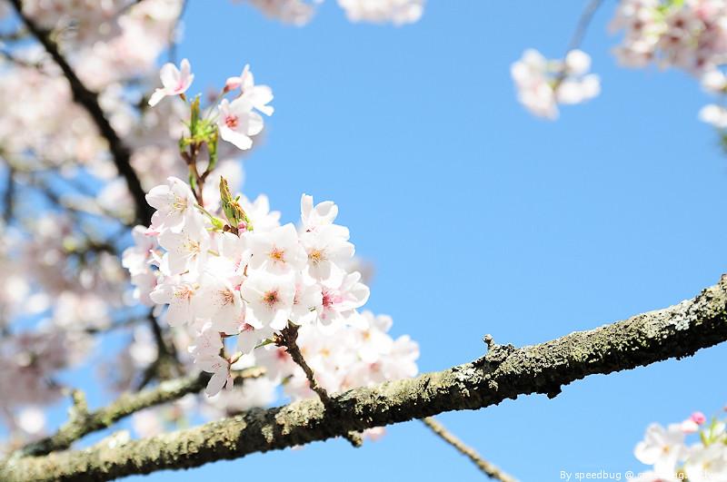 阿里山櫻花季87