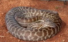 Stimpson's Python (Anteresia stimpsonsi) (Gus McNab) Tags: reptile snake python snakes herp reptiles herps herpetology pythons reptilia stimpsons pythonidae stimpsoni anteresia