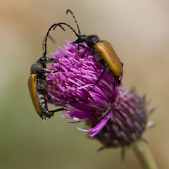 Leptures (Paracorymbia hybrida) (Sinkha63) Tags: france macro nature animal wildlife beetle insecte coleoptera longhornbeetle cerambycidae lepturinae rhnealpes coloptre longicorne lepture parcnaturelrgionalduvercors lepturini paracorymbia treschenucreyers mygearandme annesorbes paracorymbiahybrida