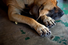 Let Sleeping Dogs Lie (soupatraveler) Tags: sleeping dog animal fur concrete canine ear botswana paws boerboel southernafrica southafricanmastiff soupatraveler sleepingdogrestingheadonpaws