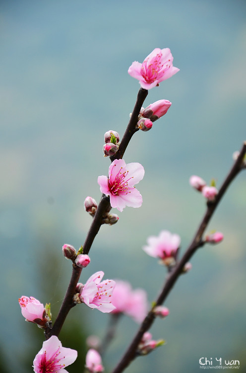 拉拉山水蜜桃花18.jpg