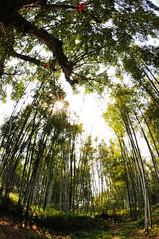Bamboo flare (Mel@photo break) Tags: china light tree green bamboo fisheye mel flare tall melinda heyuan  chanmelmel melindachan
