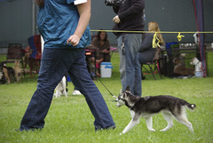 Nika (Alexandra Kimbrough) Tags: show california dog miniature husky mini kai nordic claremont northern klee alaskan ukc conformation akk