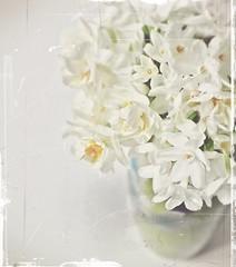 paper whites (hanna.bi) Tags: green spring paperwhites vase narcissus hannabi