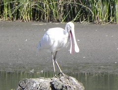 Yellow-billed Spoonbill (GordonP1) Tags: laratinga