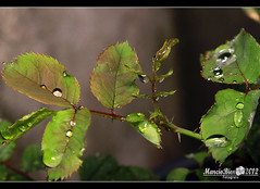 Gotas (Marciobien) Tags: macro verde green texture textura beautiful leaves rain brasil canon reflections lens eos drops saopaulo chuva linda 7d gota inverted folha reflexos 28135mm marcio bianchi taboaodaserra lenteinvertida marciobien