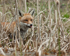 Red Fox (Stuart G Wright Photography) Tags: red wildlife fox wwwstuartgwrightcom