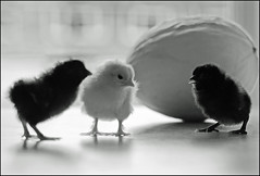Hatching a plan .... (Kenny Boy1) Tags: blackandwhite mono explore chicks 01052012 monomayhem