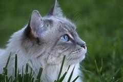 Purrfect Profile (Explored) (joecrowaz) Tags: city blue wild arizona cats pets color green nature phoenix grass animals canon eyes lowlight raw profile shade manual explored 550d t2i
