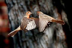 Shall we dance? (Alexandra Rudge.Thank you for 4,5 millons + viewer) Tags: naturaleza male bird nature birds animals fauna canon wildlife aves finches ave pajaros animales pajaro housefinch gettyimages carpodacusmexicanus carpodacus wildbirds vidasilvestre californiabirds californiawildlife carduelinae californiafauna alexandrarudge caiforniawildbirds californiawildbirds pajarosdecalifornia vidaanimalpajarossalvajes pajarosdenorteamerica faunadenorteamerica avesdenorteamerica californiahousefinches alexandrarudgegettyimages wildlifeofcalifornia losangeleshousefinches lahousefinches southerncaliforniahousefinches alexandrarudgebirds