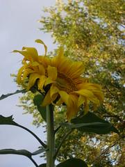 2009 Edmonton garden (alisonborealis) Tags: plants flower tree green yellow garden golden edmonton alberta sunflower elm 2009 girasole
