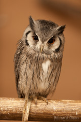 Scops Owl (Richard Olpin LRPS) Tags: bird animal fauna flickr wildlife owl online herefordshire facebook kington whitefacedscopsowl owlcentre