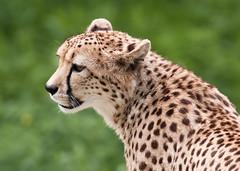 Cheetah (tickspics ) Tags: animals hampshire cheetah mammals wildlifepark coldencommon