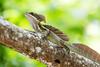Common Basalisk lizard Jesus Christ Lizard (mikebaird) Tags: costarica jesus lizard getty lagarto gettyimages jesuschristlizard mikebaird corytophanid lagartodejesuscristo commonbasalisklizard