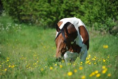 Indie in the buttercups (PhotoCet) Tags: horses horse caballo cheval paint indie pferd grazing cabalo skewblad photocet
