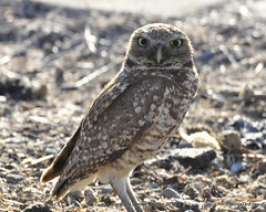 My favorite Burrowing Owl couple (StoneSpeak) Tags: nature closeup raptor owl urbanwildlife naturephotography burrowingowl burrowingowls wildlifephotography matedpair maleburrowingowl