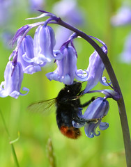 Bumble Bee and Bluebell (Helen @ Heart Of Glass) Tags: grass woodland nikon bee dorset bumble bluebell bridport lewesdon nikond7000