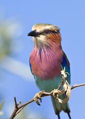 Lilac-Breasted Roller (leendert3) Tags: sunrays5 animalkingdomelite mfcc leonmolenaar