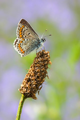 Papillon : Collier de corail / Butterfly : Brown Argus (bEOSien87) Tags: macro nature grass animal canon butterfly insect french eos wildlife sigma papillon franais insecte herbe extender kenko sigma105mm 550d sigma105mmf28exdg ariciaagestis kenko14 collierdecorail argusbrun rebelt2i kissx4 kenkopro300dgx azurbrun
