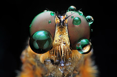 bubble eyes (shikhei) Tags: insect finest flickrs images1 fantasticnature specialpicture specinsect flickrsfinestimages1