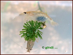 1. IN-MH-MUM-LYN - Other Shrimps (6) (Kquester) Tags: aquarium shrimp prawn glassshrimp redclawmacro
