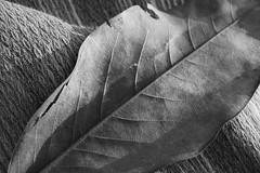 Texture (Fr3dd3rico) Tags: light shadow bw texture leaf ombra bn foglia grayscale plaid luce biancoenero volume coperta belgioioso fr3dd3rico