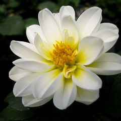 Beauty in White - Beaut en blanc (monteregina) Tags: dahlia flowers white canada fleur yellow jaune petals heart centre blumen center coeur gelb qubec blanc onblack compositae ptales fillframe astraces composes
