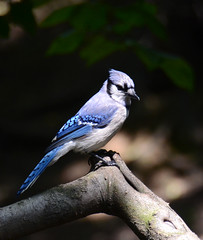 Jay : Blue (Photo Crazy Rob) Tags: usa ny newyork june america centralpark bluejay rc 2012 rac60
