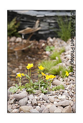 Marsh Marigolds (Winterspeak) Tags: show uk flowers portrait flower color colour cup water yellow metal stone wales silver garden gold grey golden spring bed mixed focus colorful stream europe s