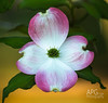 Dogwood Blossom #1, 2014 (APGougePhotography) Tags: flower nikon blossom south clarity dogwood topaz d600 denoise