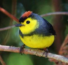 Collared Redstart (tombenson76) Tags: costarica poasvolcano collaredredstart myioborustorquatus